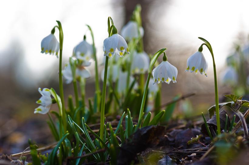 M rzenbecher bilder vom schwarzwald und oberrhein for Blumen und pflanzen bestellen